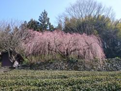 相野の花、野村のしだれ桜 今週末が見頃!