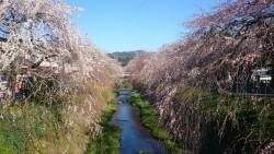 桜の最新情報