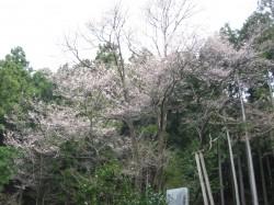 世善桜、本日開花!現在3分咲きです!4.3