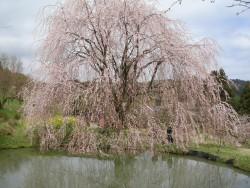 相野の花、尾首の池の桜が見頃です!