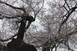 芋種桜 満開!4.3