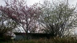 舞い散る桜・・葉桜になりました。