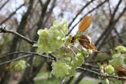 うぐいす色の桜が満開です。
