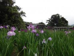 弓削神社の菖蒲が見頃