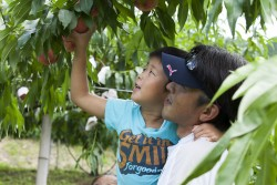 桃狩り終了。梨、ぶどうが開園します。