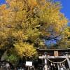 中川三島神社 乳出の大イチョウ