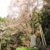 世善桜(御嶽・北地)