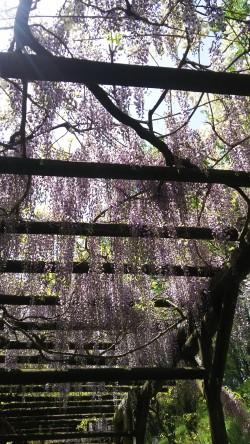 龍王公園の藤の花が満開です!