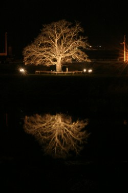 五十崎のシンボル「大きな榎」をライトアップしています