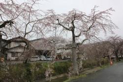 桜の開花状況(3/20現在)