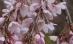 桜の開花状況(4/11現在)