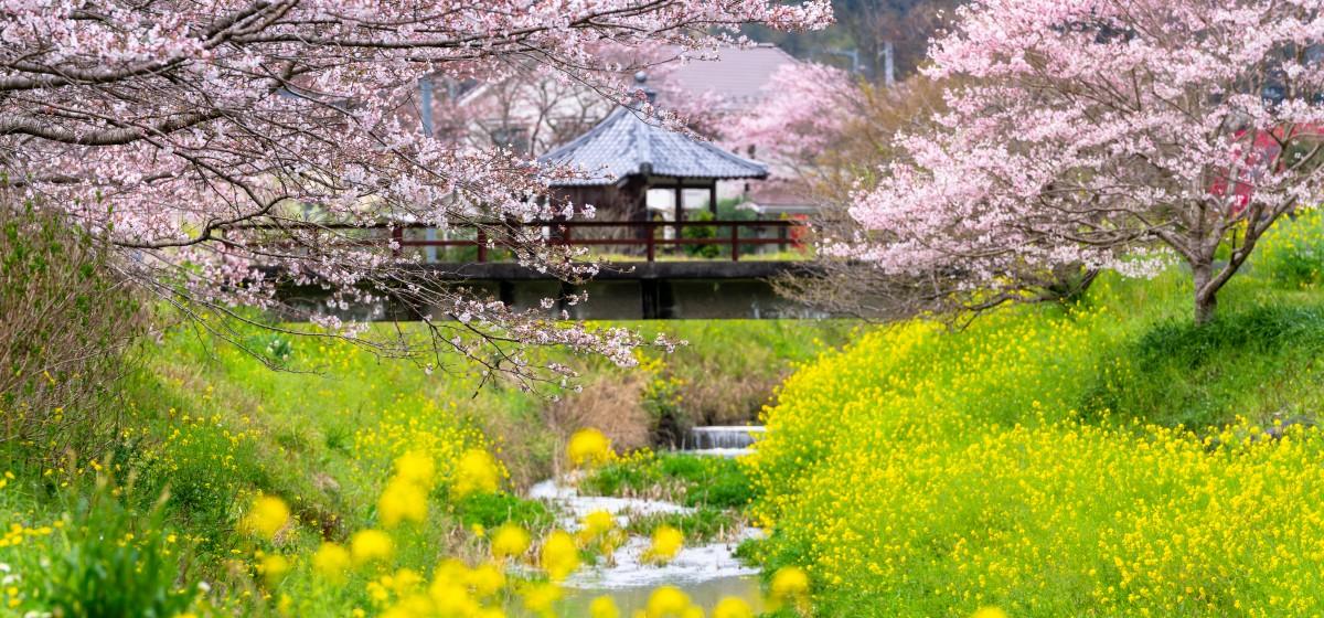 春はもうすぐ、内子の桜(柿原)