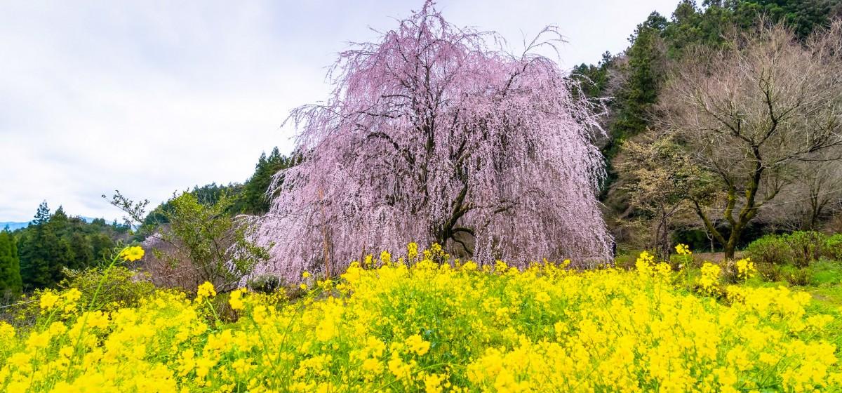 春はもうすぐ、内子の桜(相野)