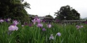 弓削神社の菖蒲 開花情報について(6/17現在)