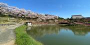 内子町内桜開花情報(随時更新)